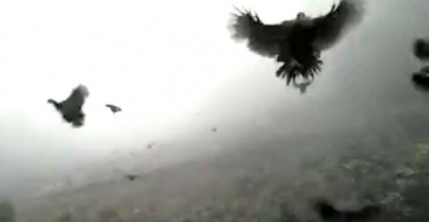 Tavuklar uçabilir mi ?