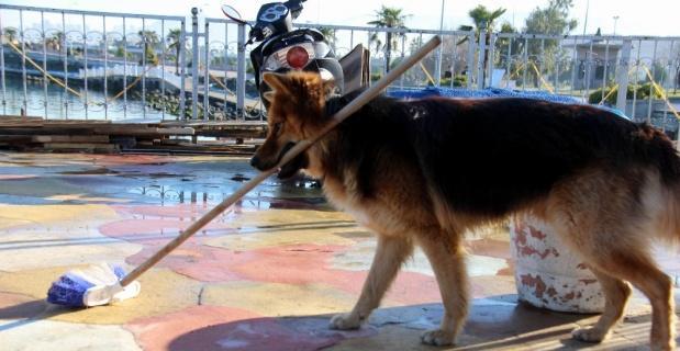 Yerleri süpüren köpek şaşırtıyor