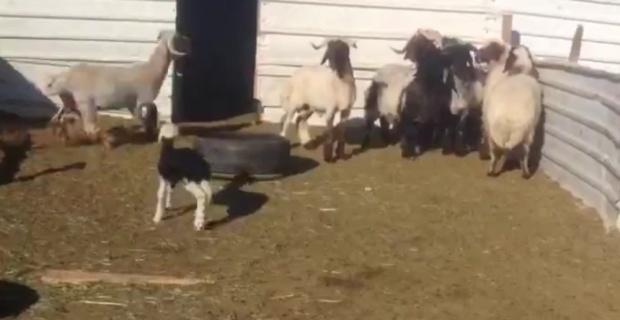 Kuzudan korkan koyunlar güldürdü