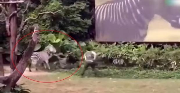 Zebra bakıcısına böyle saldırdı