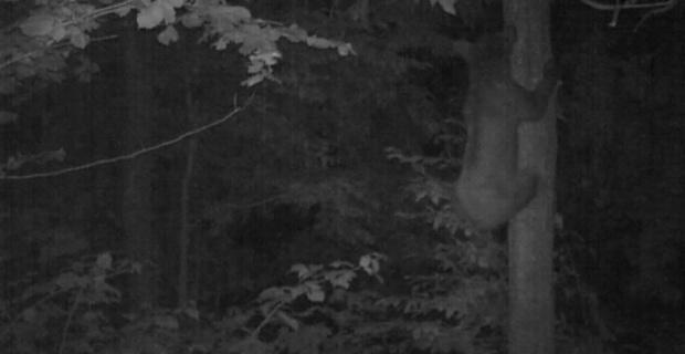 Yavru ayının ağaca tırmanmayı öğrendiği anlar foto kapanda