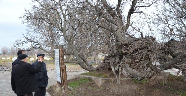 850 yaşındaki karadut ağacı hala meyve vermeye devam ediyor