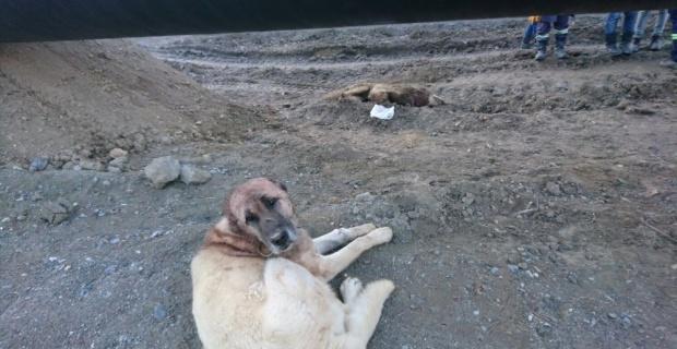 Köye inen kurtları Karabaş öldürdü