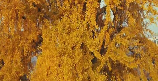 3 bin yıllık ağacın altın sarısı yaprakları etkiliyor