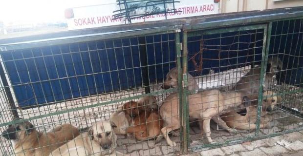 Hisarcık'ta sokak köpekleri kısırlaştırılıyor