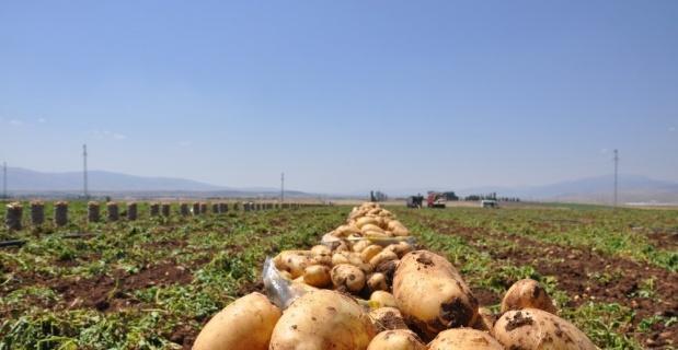 Sandıklı'da patates hasadı başladı