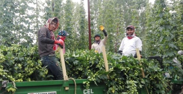 Türkiye'de sadece orada yetişen ürünün hasadı başladı