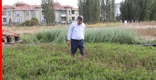 Tıbbi aromatik bitkilerin hasadı yapıldı