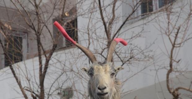 Keçilerin kavgasına hortumlu çözüm