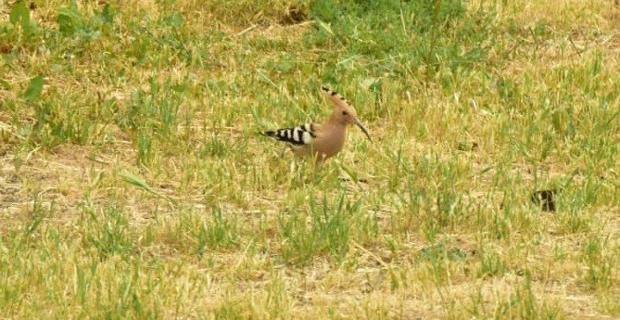 Nadir görülen İbibik kuşu park ve bahçelerde
