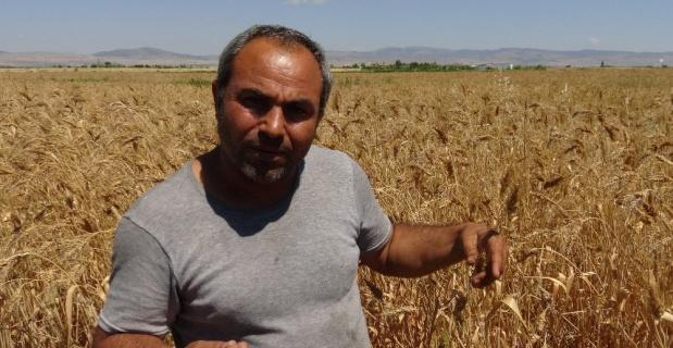 Geçmişini bilmediği bir avuç buğdayı çoğaltmaya çalışıyor