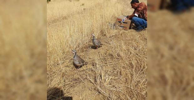 Kınalı keklikler doğaya salındı