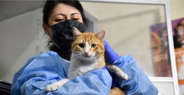 Kedilerde FIP hastalığı önlemleri