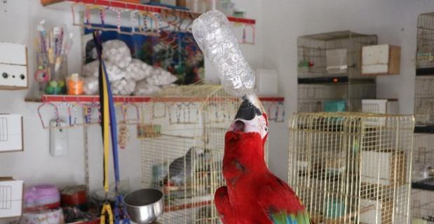 Bu papağan insan gibi davranıyor...