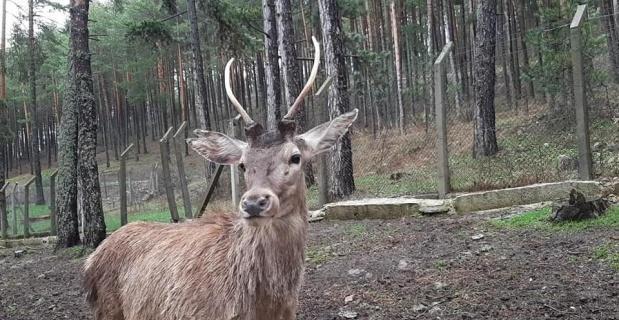 Kahramanmaraş'a 5 kızıl geyik gönderildi