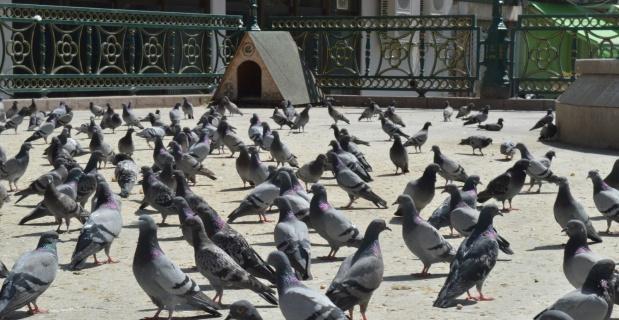 Güvercinlerin şanslısı yem buldu, şansızı aç kaldı