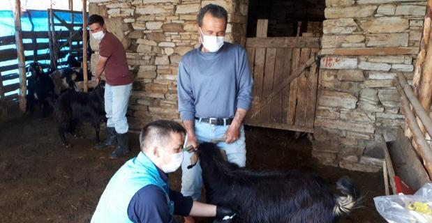 Hisarcık'ta koyun ve keçilere veba aşısı