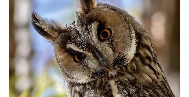 'Kulaklı Orman Baykuşu' koruma altına alındı