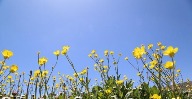 Düğün çiçekleri yaylaları sarıya boyadı