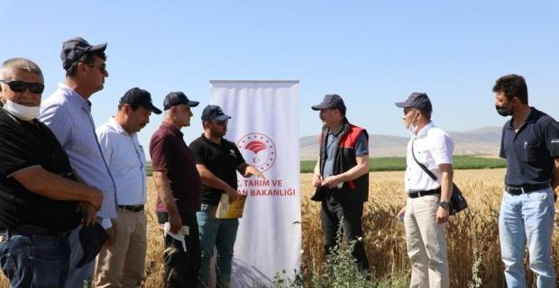 Yerli ve milli ekmeklik buğday çeşitleri