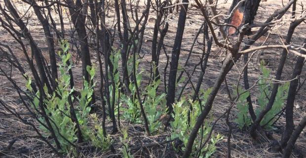 Orman yangınında yanan ağaçların kökleri filizlendi