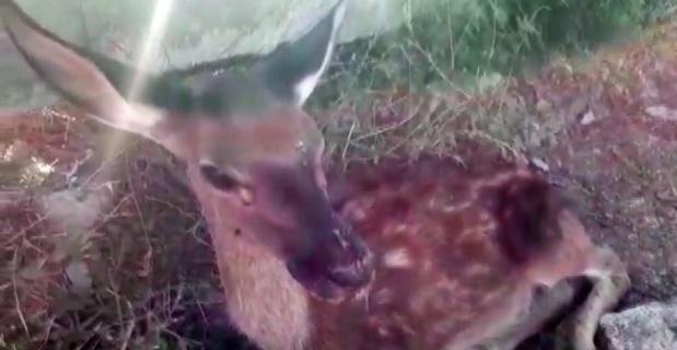 Ölmek üzere olan geyik hayata döndürüldü