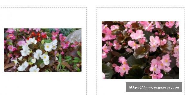 En İyi Begonya Çiçek Fiyatları İçin Şimdi Rüzgar Botanik'e Tıkla!