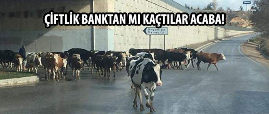 Onlarca inek çevre yolunu işgal etti!