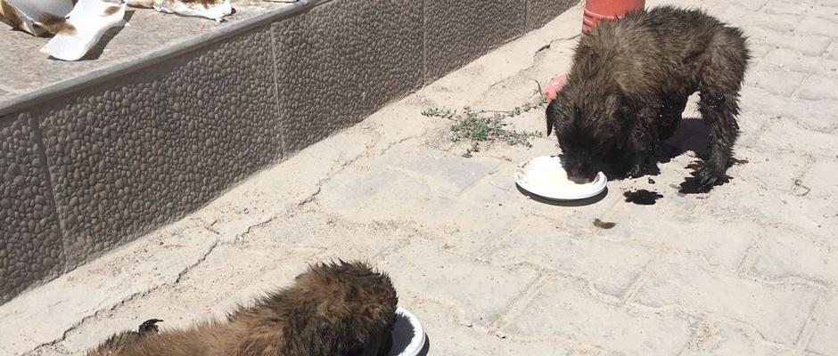 Zifte saplanan köpek yavruları ölmek üzereyken kurtarıldı