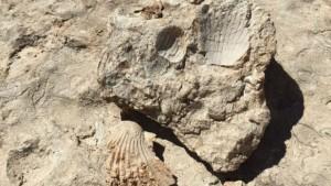35 milyon yıllık fosiller incelemeye alındı