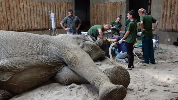5,5 tonluk filin dişi ameliyatla çekildi
