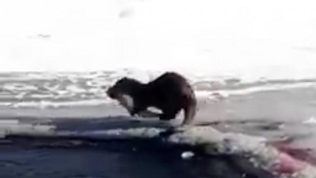 Su Samuru, buz üstünde balık yerken görüntülendi