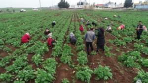 Drone gören tarım işçileri şaşkına döndü