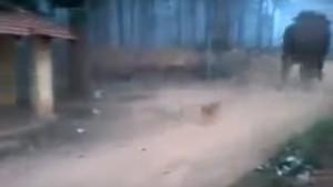 Minik köpek dev fili böyle kovaladı