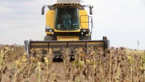 (ÖZEL) Tohumluk ayçiçeği hasadı üreticilerin yüzünü güldürdü