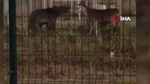 Sarıkamış'ta ayı keçilere böyle saldırdı