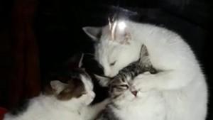 Yavru kedilerden anne kediye masaj